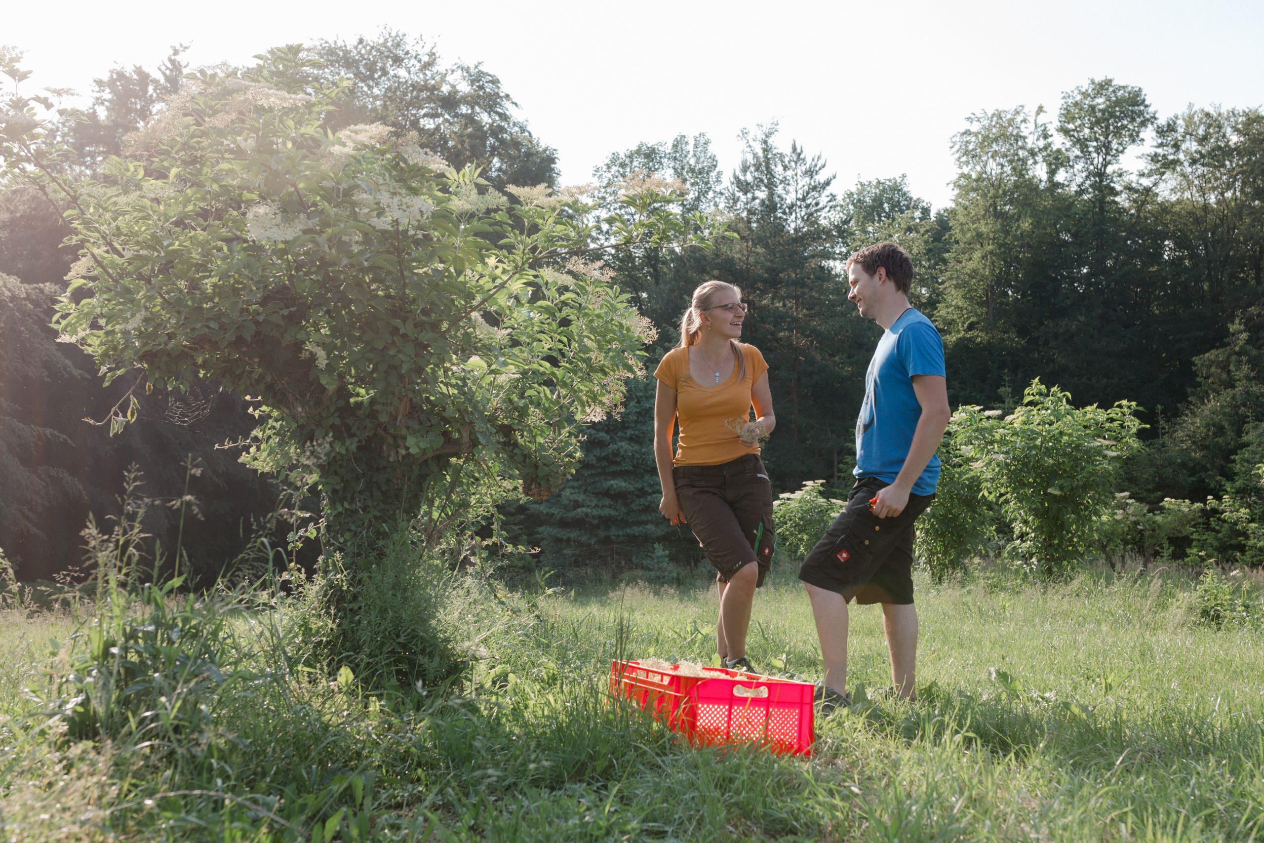 Holunderlbüten ernte in der Steiermark - Produkte vom Bauernhof