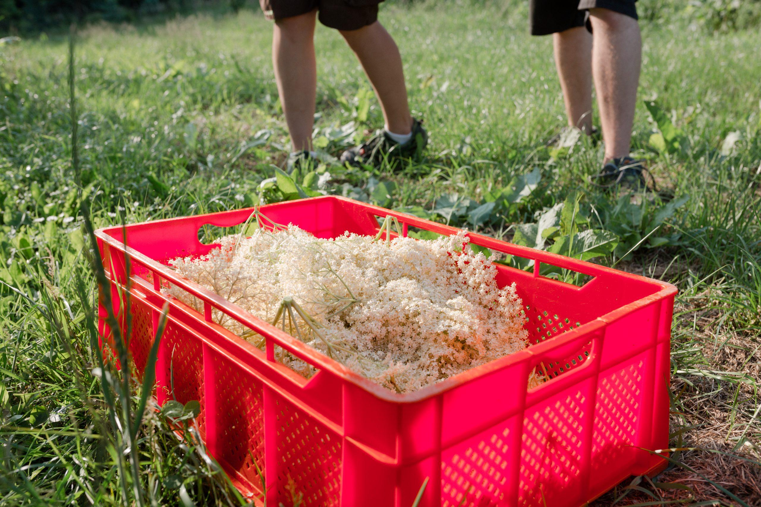 Holunderlbüten - Bio-Produkte vom Bauernhof