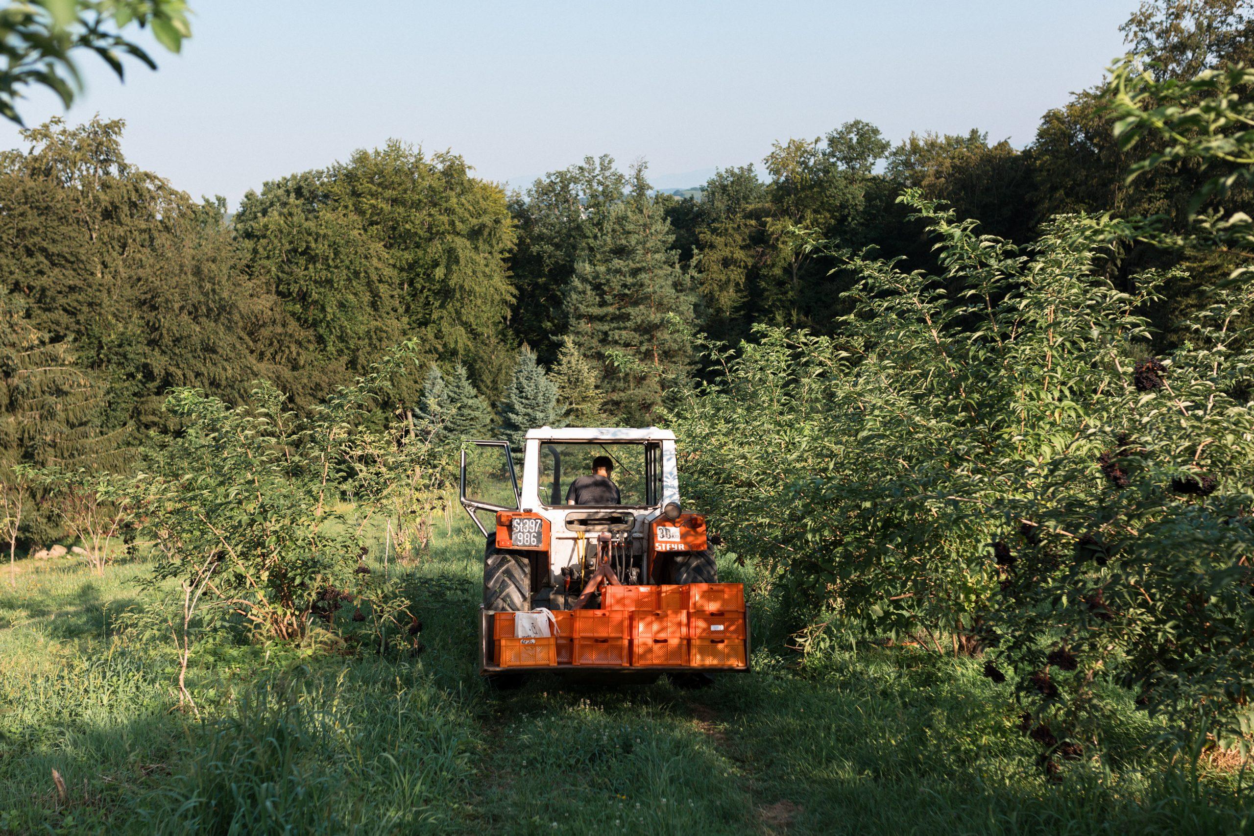 Holunderbeeren ernte - Bio-Produkte Steiermark