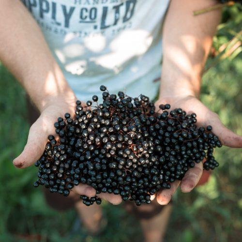 Bio-Produkte vom Bauernhof genießen - Holunderbeeren