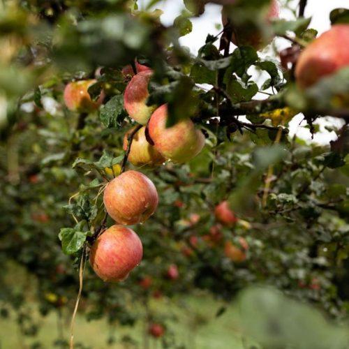Bio Äpfel aus der Steiermark bei Sitzwohl - Das Kleinod am Lindenhof